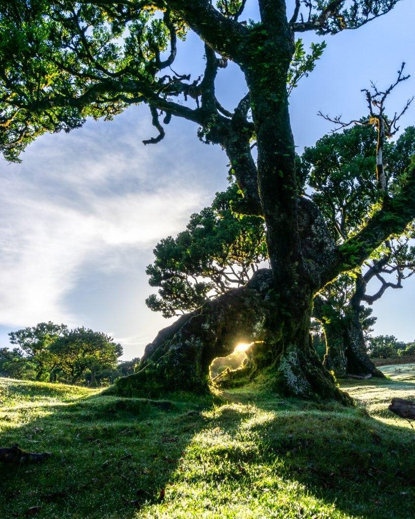 Laurel trees in Fanal